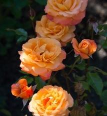 NZ roses