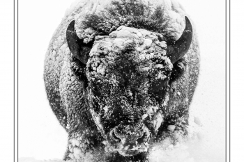 Paul Anderson - Icing on the Bison