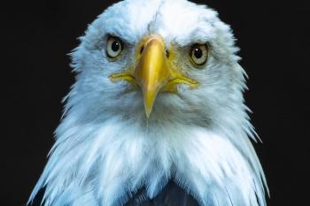 Paul Anderson - eagle closeup